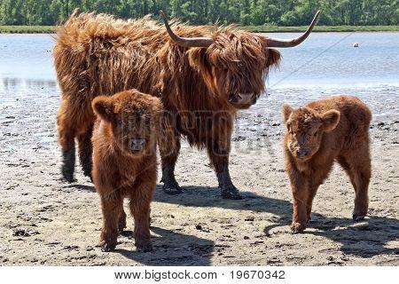 scottish highlander baby's