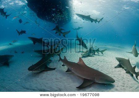 Nosy sharks