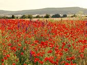 Flowers Red Poppies Blossom On Wild Field. Beautiful Field Red Poppies With Selective Focus. Red Pop poster