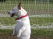 stock photo of kinda  - jack russell upright in front of a goal net  - JPG