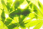 Cannabis Leaf Green Leaves Marijuana poster