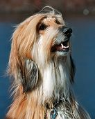 stock photo of foxhound  - borzoi  - JPG