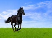 picture of black horse  - black horse - JPG