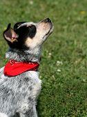 foto of heeler  - 8 week old Blue Heeler puppy dog - JPG
