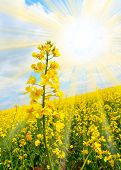 Rapeseed (Brassica napus) Rapeseed oil is used in the manufacture of biodiesel for powering motor ve