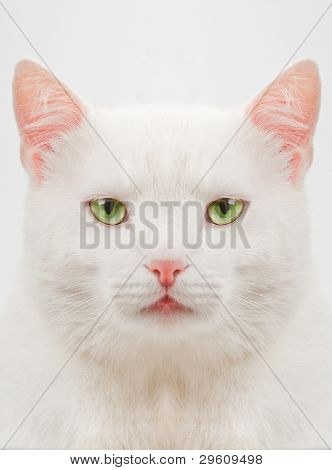 thick white cat with green eyes close up