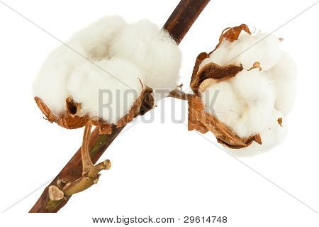 Cotton Plant With Bolls