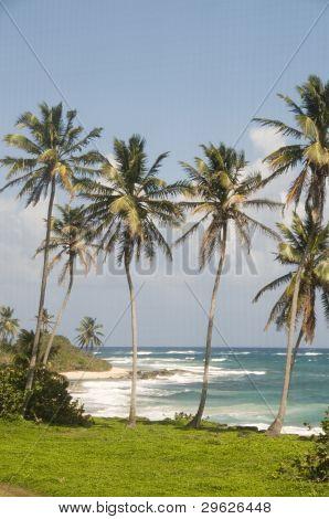 Coconut Palm Trees Undeveloped Beach Corn Island Nicaragua