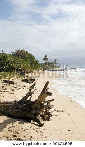 Driftwood Coconut Palm Trees Undeveloped Beach Corn Island Nicaragua