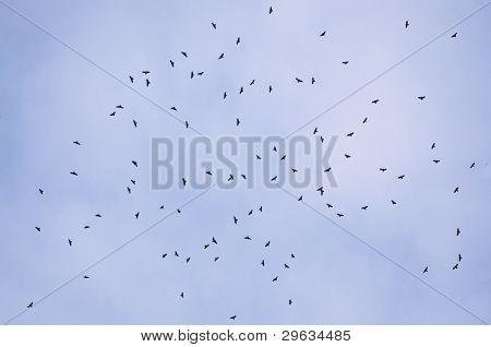 Falke-Migration