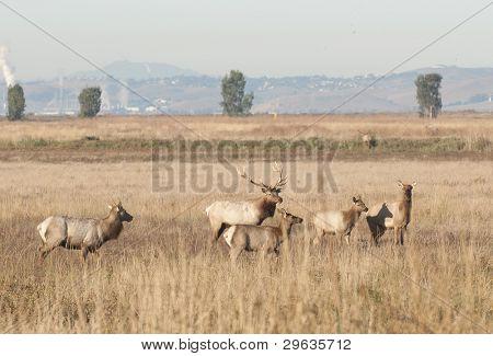 Tule elk herd on Grizzly Island, CA wildlife refuge