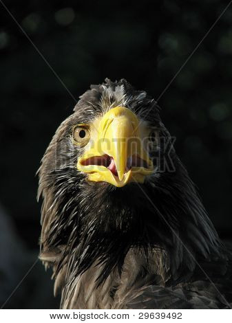 Sea eagle with opened beak