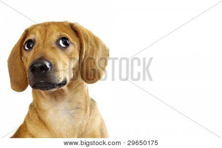 Cachorro bassê isolado sobre um fundo branco