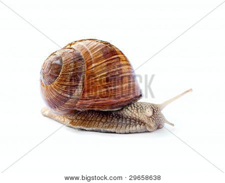 Crawling snail isolated on white background