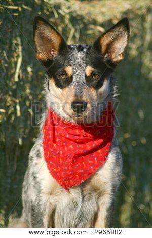 Heeler Pup 39