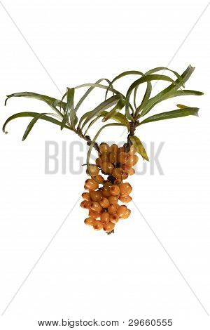Fruits Of Sea Buckthorn, Latin. Hippophae, (isolated)