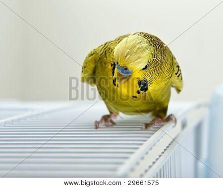 Angry Budgie