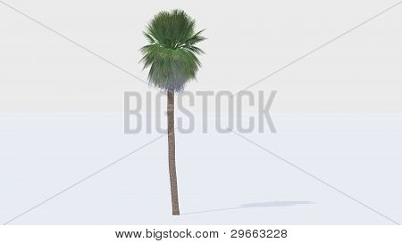 mexican palm tree