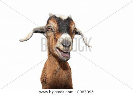 Goat On White