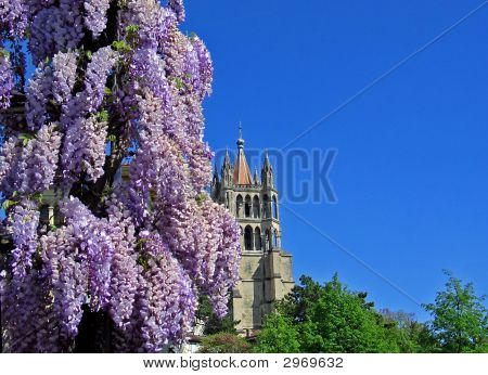 Lausanne Cathedral And Glycine, Switzerland