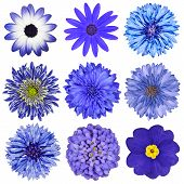 foto of primrose  - Various Blue Flowers Selection Isolated on White Background - JPG