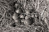 foto of duplex  - Fallen apples in the state of decay lying on the ground   - JPG