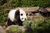 Giant Panda, Ailuropoda Melanoleuca, Or Panda Bear. Close Up Of Giant Cute Panda With Bright Black E poster