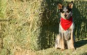 picture of heeler  - Blue Heeler puppy sporting a red bandana on hay bales - JPG