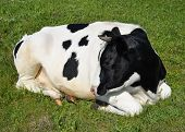Cow Lying On A Spring Farm Pasture. Very Funny Black And White Cow Lies On The Grass And Looks At Th poster