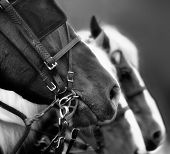pic of blinders  - Black and white image with close-up of bridled horse in foreground ** Note: Slight graininess, best at smaller sizes - JPG