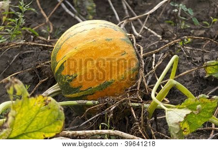 Pumpkin On Vegetable Garden