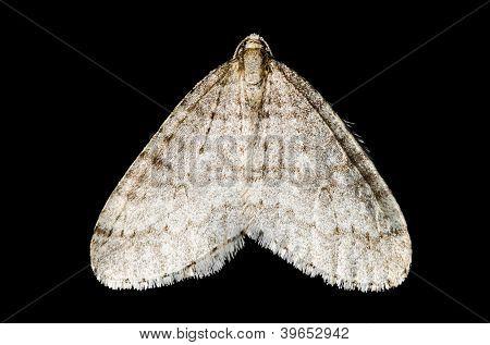 Moth (lepidoptera)