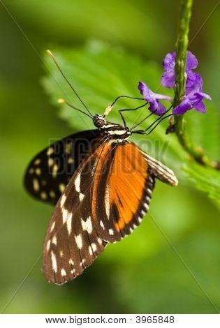Butterfly-Heleconius Charitonius
