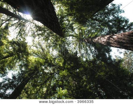 Cathedral Grove - Muir Woods