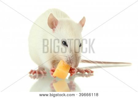 funny little rat with cheese, isolated on white