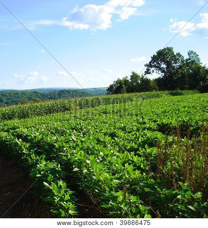 Soybean and corn crops in summer