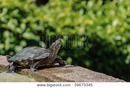 Pond Terrapin  In Sunshine Day