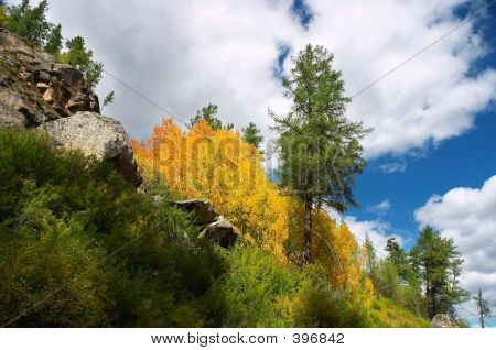 Yellow Aspen And Green Fir