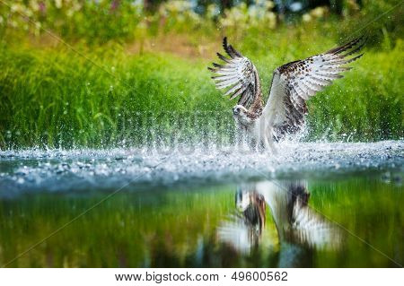 Oprey Diving Into A Lake With Spread Wings
