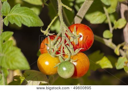 Tomatoes On Bush