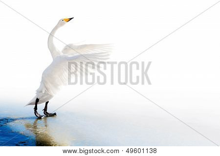 Standing Swan On Ice Edge With Spread Wings
