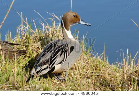 Retrato do Pintail pato no Lago