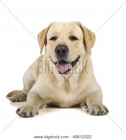Yellow Labrador Retriever Smiling