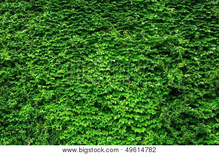 Green Ivy wall