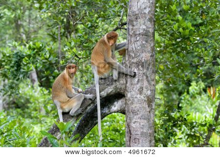 Proboscis Monkies