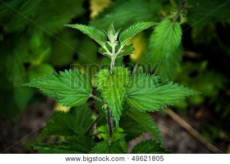 Nettles - dangerous weed and alternative medicine