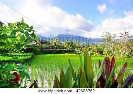 beautiful balinese rice fields