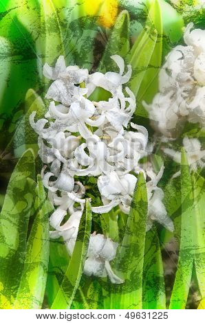 White Hyacinth Flowers Digital Art