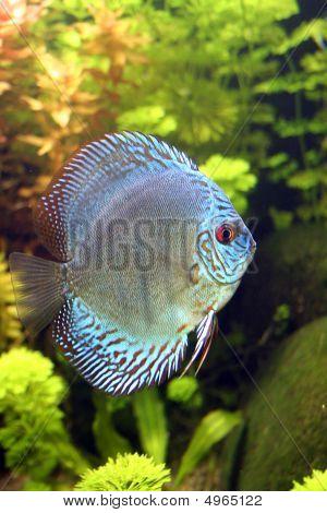 Blue Discus Aquarium Fish