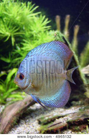 Blue Snakeskin Discus Aquarium Fish